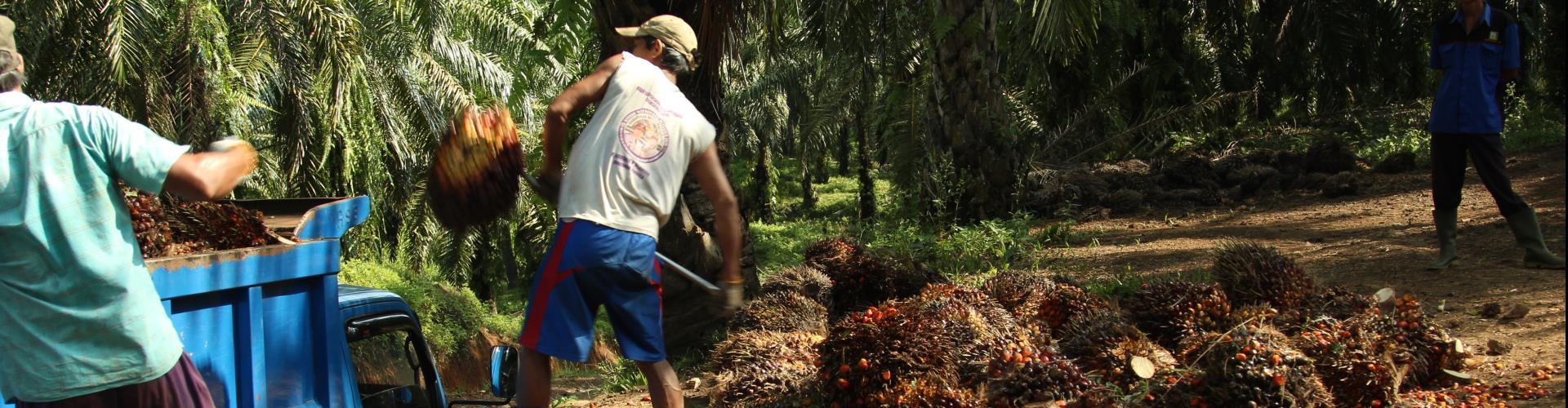 Palmolie productie